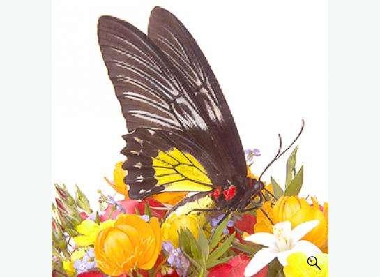 Живые бабочки в подарок