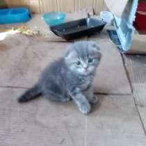 Шотландский вислоухий котёнок, в Казани