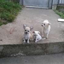Продам щенков Чихуахуа, в Краснодаре