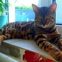 Вязка бенгальского кота, в г.Минск