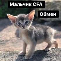 Котята абиссинской породы, в Воронеже