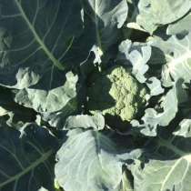 Выращиваю и заключаю договор на поставку капусты цветной и к, в Нижнем Новгороде