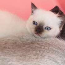 Продаётся шотландский котенок мальчик, в г.Стаханов