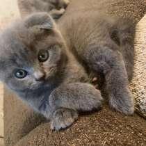 Шотландские вислоухие котята, в г.Витебск