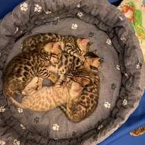 Бенгальские котята, в Санкт-Петербурге