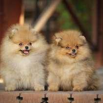Очаровательные щенки самого маленького шпица, в г.Усть-Каменогорск