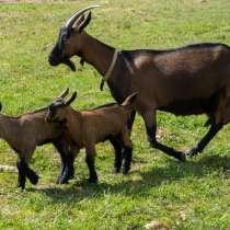 Племенные козы Чешские гнедые (Скот из Европы класса Элита и, в Красноярске