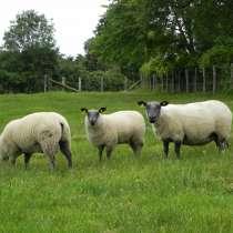Племенные овцы Блю-де-Мейн (Скот из Европы), в Красноярске