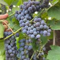 Продам виноград Изабелла, в Елеце