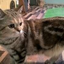 Котята породы скоттиш фолд, в Мончегорске
