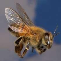 Пчелопакеты Карпатка в Новосибирск доставка бесплатная, в Новосибирске