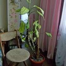 Продам комнатное растение, в г.Харьков