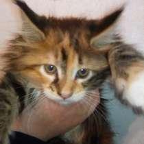 Роскошная кошка мейн - кун, в Твери