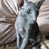 Ориентальный котик, в Тюмени