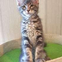 Котята мейн кун, в Нижнем Новгороде