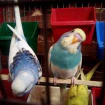 Продам волнистых попугаев, в г.Лисичанск