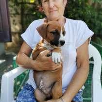Продам щенков Амстаффа, в г.Днепропетровск