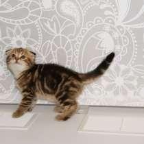 Шотландские котята, в Екатеринбурге