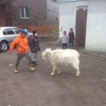 Козы молочной породы, в г.Алматы