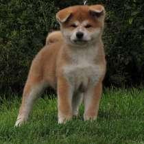 100% щенок. акита-ину. (хатико) девочка, в г.Витебск