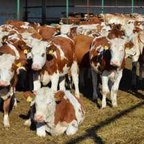 Продаем быков, в г.Днепропетровск