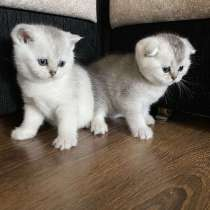 Продам шотландских котят золотой шиншиллы, в г.Орша
