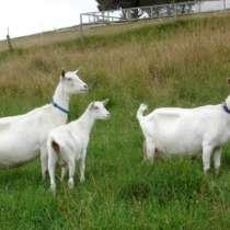 Голландские зааненские козы, в г.Актобе