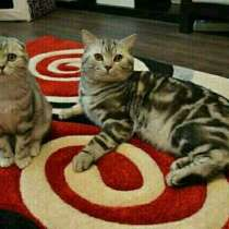 Коты на вязку, котята продаются, в Иванове