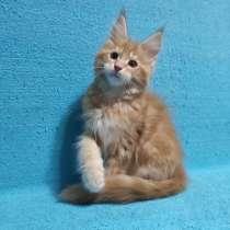 Котик мейн-кун из питомника - апельсинка, в Владимире