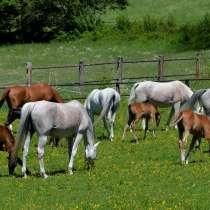 Лошади и жеребята от производителя, в Элисте