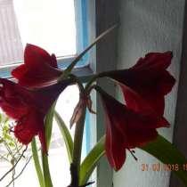 Луковицы и семена Амариллис Red Lion (красный лев), в г.Алматы