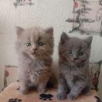 Продам шотланских котят, в г.Рубежное