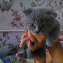 Продаю котят шотландской породы, в г.Макеевка