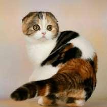 Шотландская кошка, в г.Комрат