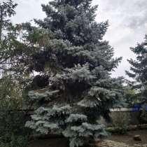 Голубая ель, в Зернограде