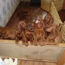Продажа щенков ирландского красного сеттерп, в Мурманске