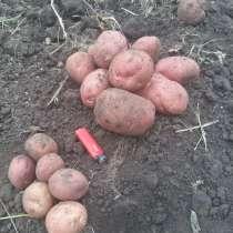 Картофель продовольственный продажа оптом, в Нижнем Новгороде