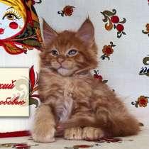 Котенок мейн кун красный солид. Шоу класс, в Москве
