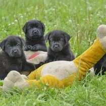 Очаровательные щенки лабрадора, в Вологде