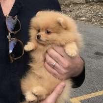 Куплю щенка шпица в Москве, в Москве