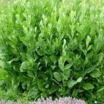 Калуфер - редкое пряное и лекарственное растение с доставкой, в Томске