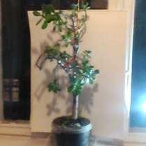 Дденежное дерево, в Краснодаре