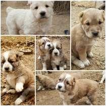 Чистокровные щенки алабая, в г.Ташкент
