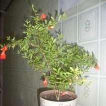 Домашний гранат или гранатовое дерево, в Кумертау