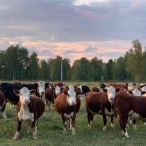 Коровы, нетели, телки породы Казахская Белоголовая, в Казани
