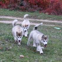 Предлагаем к продаже щенков Аляскинского маламута, в г.Мелитополь