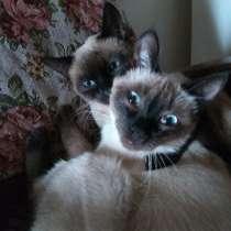 Ищу Сиамского кота для вязки с Сиамской кошечкой, в Новочебоксарске
