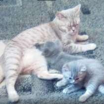 Маленькие британские котята, в г.Николаев