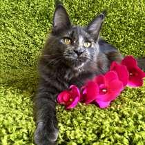 Мейн-кун котята из питомника, в г.Хельсинки