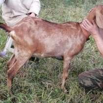 Англо-Нубийская дойная коза, в Москве